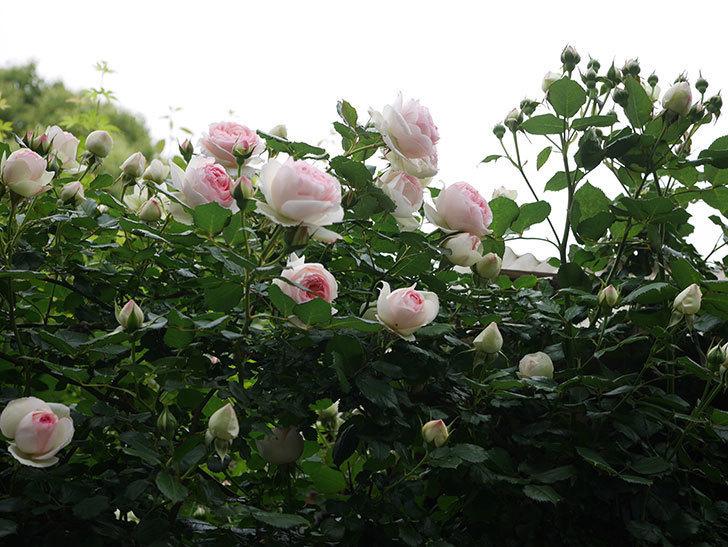 ピエール・ドゥ・ロンサール(ツルバラ)の花がたくさん咲いた。2020年-4.jpg