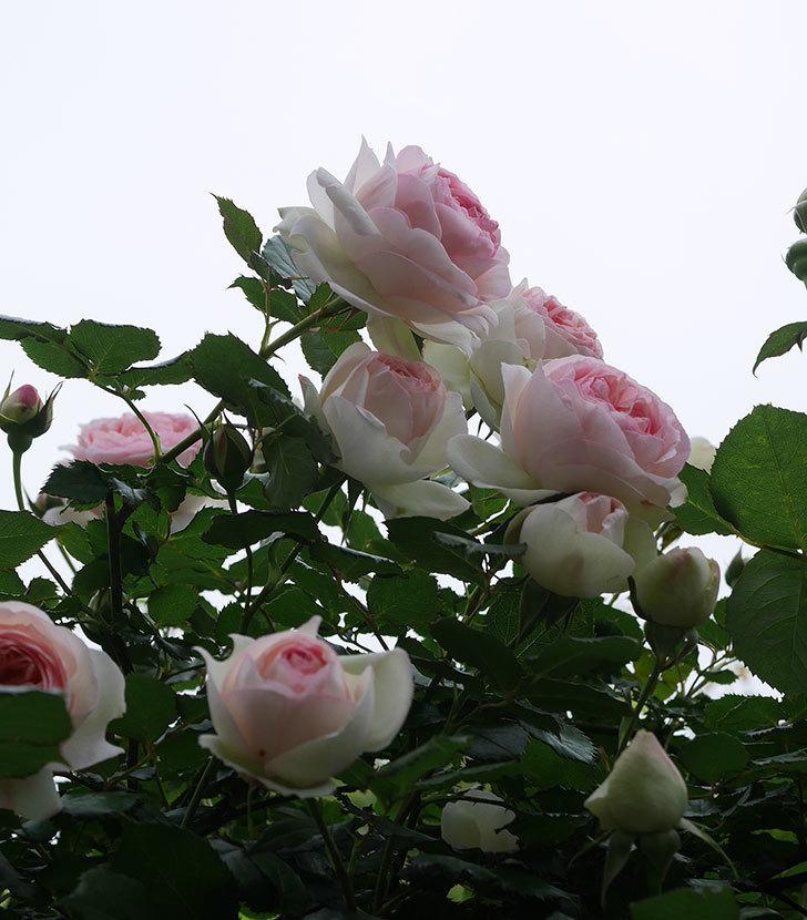 ピエール・ドゥ・ロンサール(ツルバラ)の花がたくさん咲いた。2020年-5.jpg