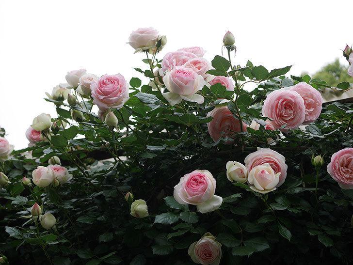 ピエール・ドゥ・ロンサール(ツルバラ)の花がたくさん咲いた。2020年-6.jpg