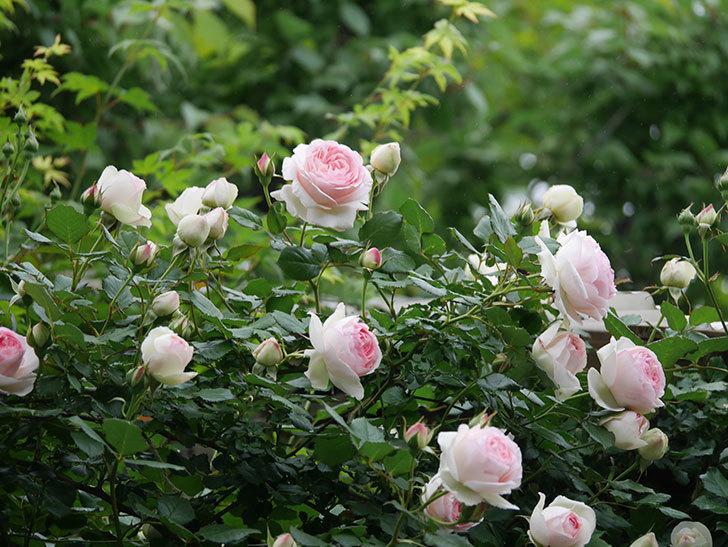 ピエール・ドゥ・ロンサール(ツルバラ)の花がたくさん咲いた。2020年-7.jpg