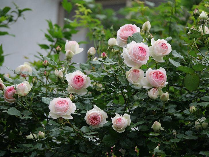 ピエール・ドゥ・ロンサール(ツルバラ)の花がたくさん咲いた。2020年-8.jpg