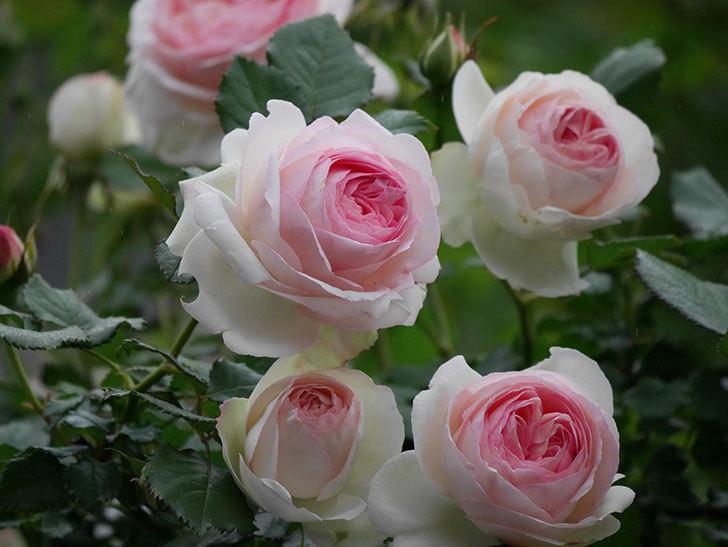 ピエール・ドゥ・ロンサール(ツルバラ)の花がたくさん咲いた。2020年-9.jpg