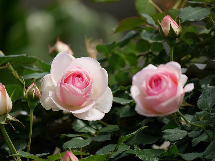 ピエール・ドゥ・ロンサール(ツルバラ)の花がポツポツ咲いた。2019年-1.jpg