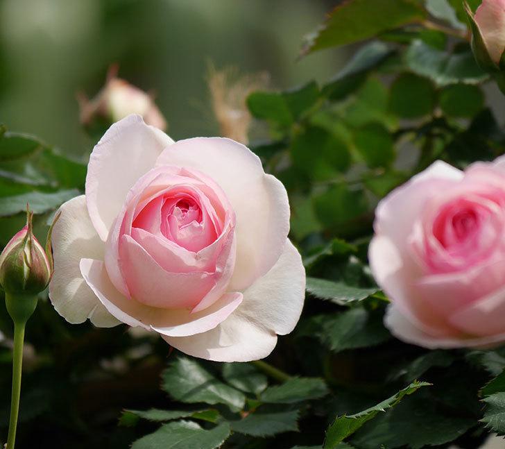 ピエール・ドゥ・ロンサール(ツルバラ)の花がポツポツ咲いた。2019年-10.jpg
