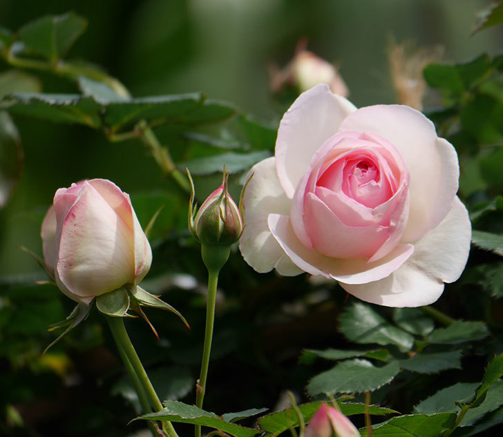 ピエール・ドゥ・ロンサール(ツルバラ)の花がポツポツ咲いた。2019年-11.jpg