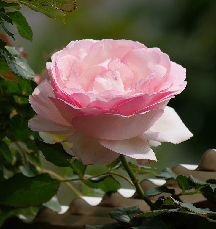 ピエール・ドゥ・ロンサール(ツルバラ)の花がポツポツ咲いた。2019年-12.jpg