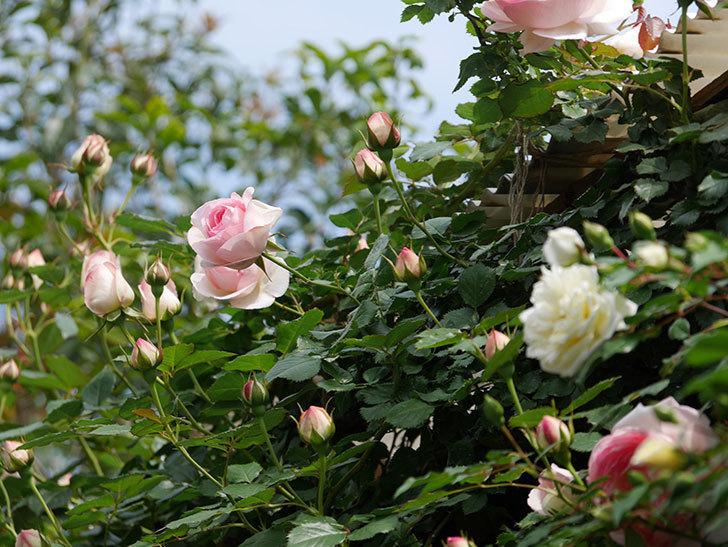 ピエール・ドゥ・ロンサール(ツルバラ)の花がポツポツ咲いた。2019年-13.jpg