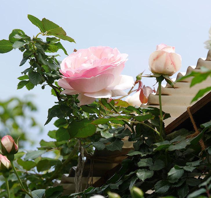 ピエール・ドゥ・ロンサール(ツルバラ)の花がポツポツ咲いた。2019年-14.jpg