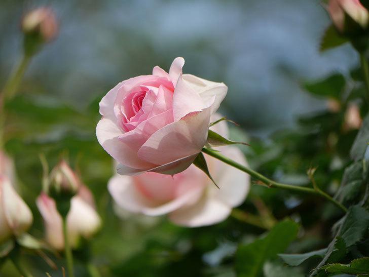 ピエール・ドゥ・ロンサール(ツルバラ)の花がポツポツ咲いた。2019年-15.jpg