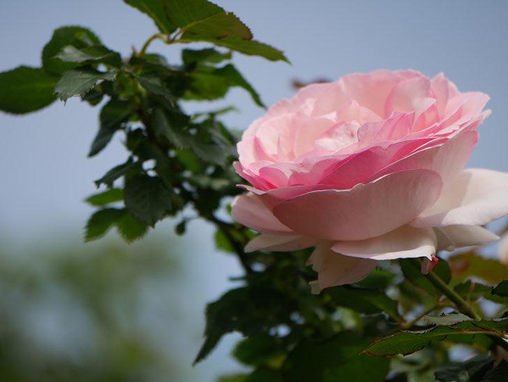 ピエール・ドゥ・ロンサール(ツルバラ)の花がポツポツ咲いた。2019年-16.jpg