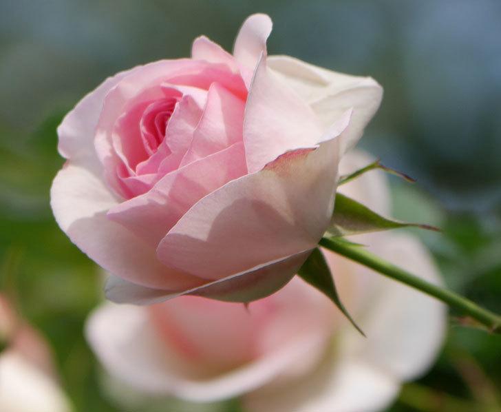 ピエール・ドゥ・ロンサール(ツルバラ)の花がポツポツ咲いた。2019年-17.jpg