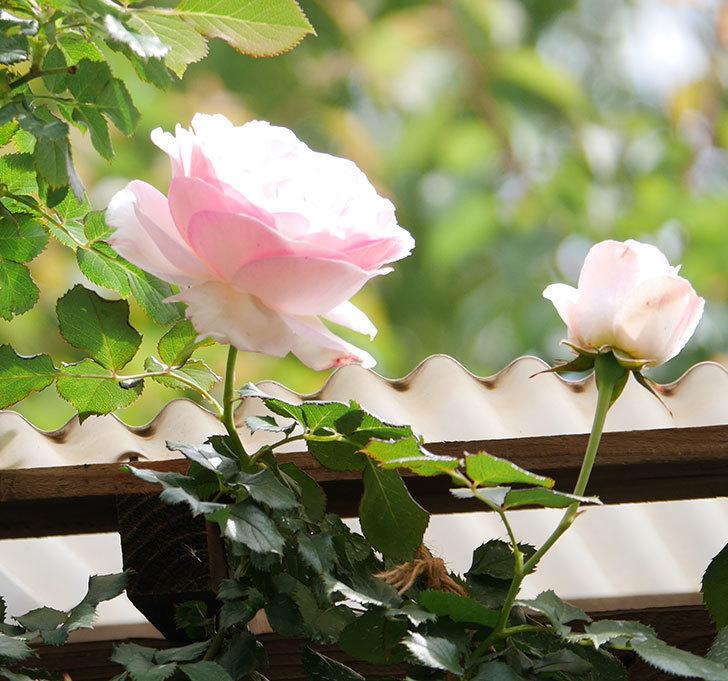 ピエール・ドゥ・ロンサール(ツルバラ)の花がポツポツ咲いた。2019年-3.jpg