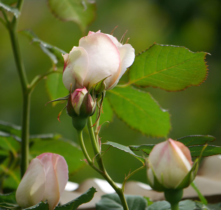 ピエール・ドゥ・ロンサール(ツルバラ)の花がポツポツ咲いた。2019年-5.jpg