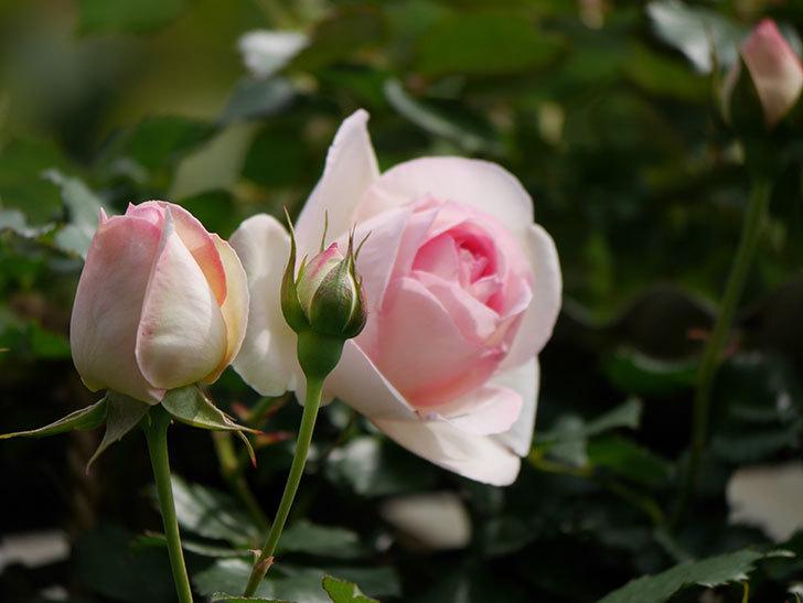 ピエール・ドゥ・ロンサール(ツルバラ)の花がポツポツ咲いた。2019年-6.jpg