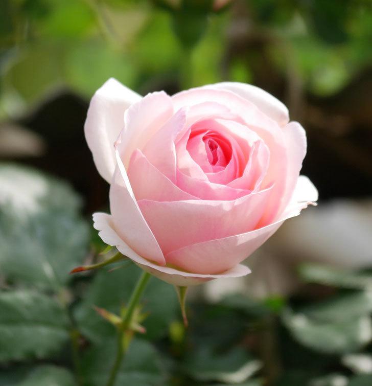 ピエール・ドゥ・ロンサール(ツルバラ)の花がポツポツ咲いた。2019年-7.jpg