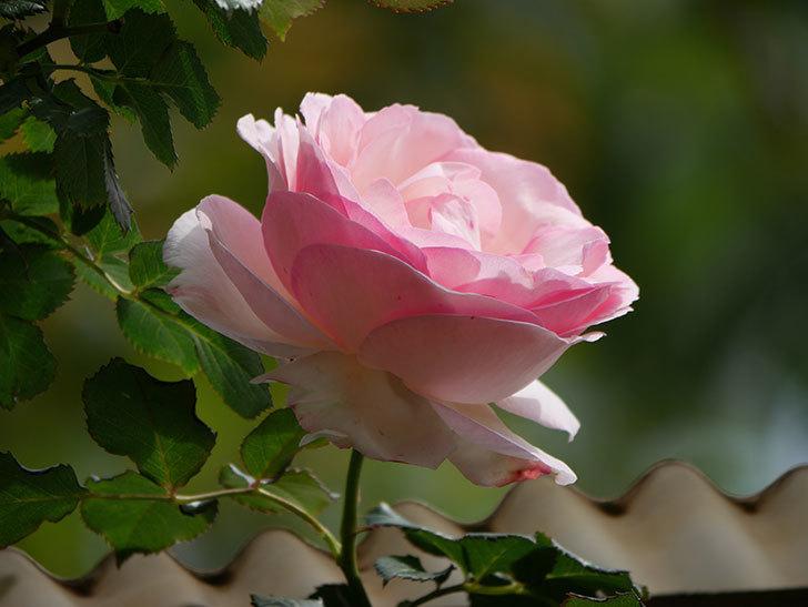 ピエール・ドゥ・ロンサール(ツルバラ)の花がポツポツ咲いた。2019年-8.jpg