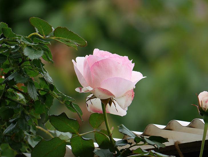ピエール・ドゥ・ロンサール(ツルバラ)の花が咲いた。2019年-3.jpg