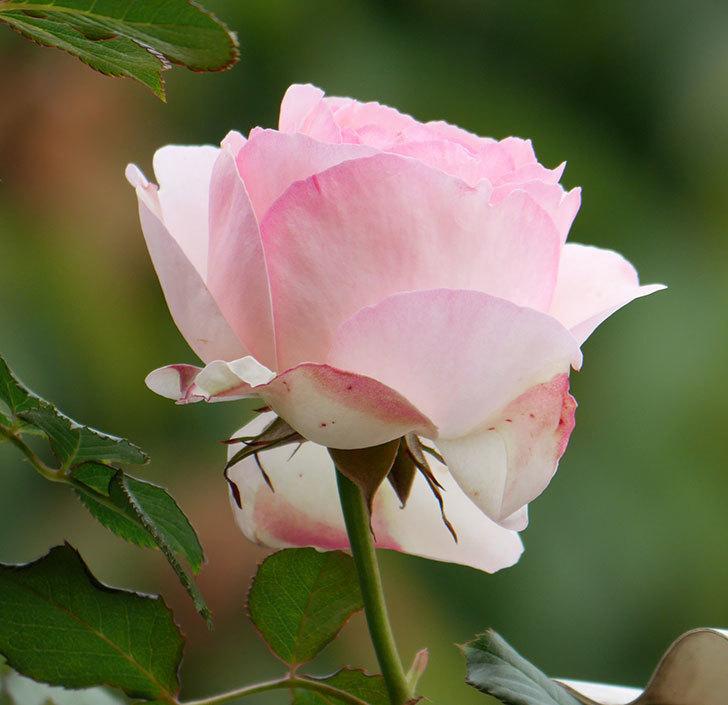 ピエール・ドゥ・ロンサール(ツルバラ)の花が咲いた。2019年-4.jpg