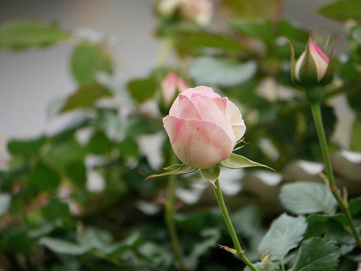 ピエール・ドゥ・ロンサール(ツルバラ)の花が咲いた。2019年-8.jpg