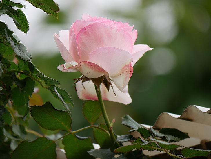 ピエール・ドゥ・ロンサール(ツルバラ)の花が咲いた。2019年-9.jpg