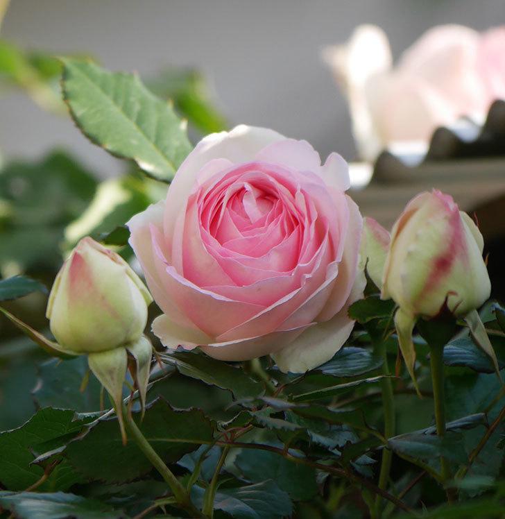 ピエール・ドゥ・ロンサール(ツルバラ)の花が咲いた。2020年-1.jpg