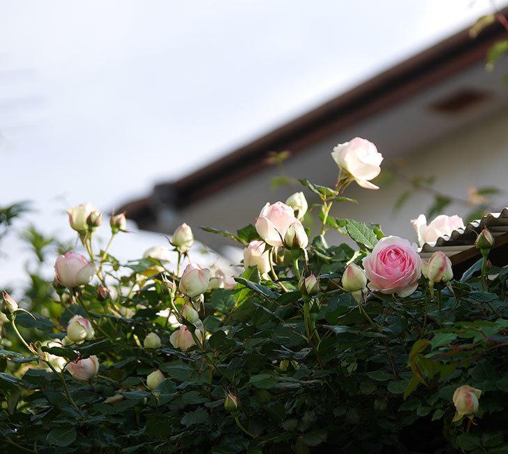 ピエール・ドゥ・ロンサール(ツルバラ)の花が咲いた。2020年-2.jpg