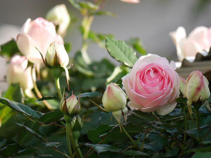 ピエール・ドゥ・ロンサール(ツルバラ)の花が咲いた。2020年-3.jpg