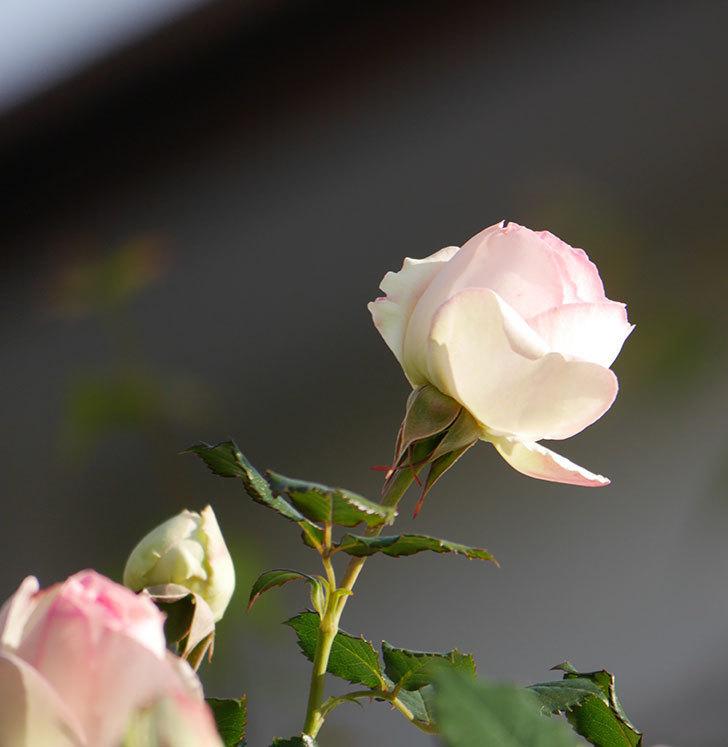 ピエール・ドゥ・ロンサール(ツルバラ)の花が咲いた。2020年-4.jpg