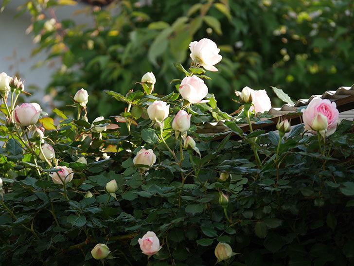 ピエール・ドゥ・ロンサール(ツルバラ)の花が咲いた。2020年-6.jpg
