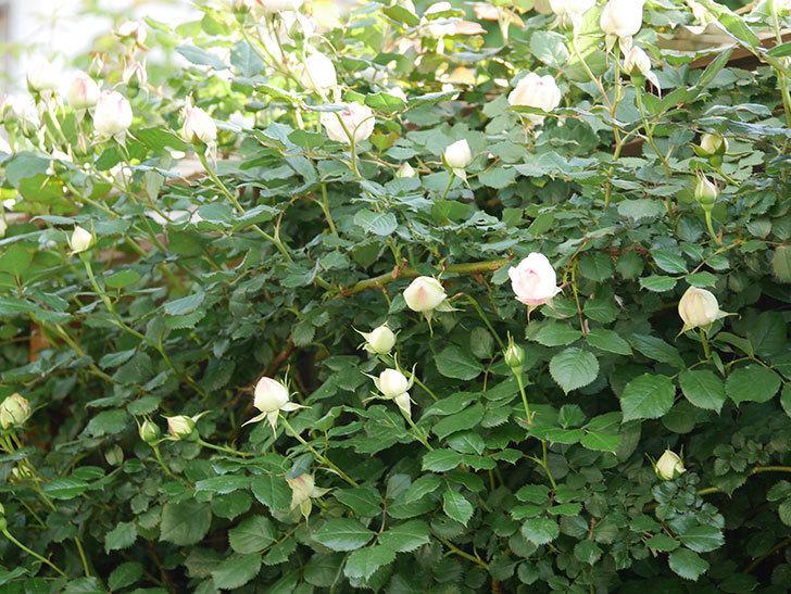 ピエール・ドゥ・ロンサール(ツルバラ)の花が咲いた。2020年-8.jpg