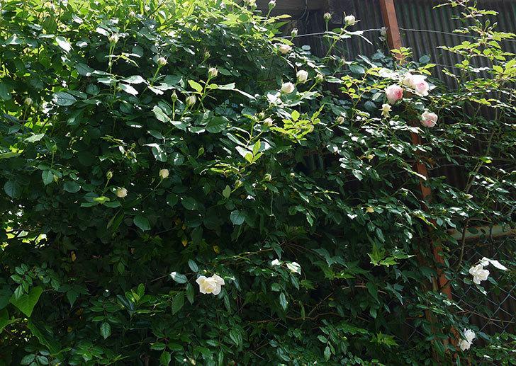 ピエール・ドゥ・ロンサール(ツルバラ)の花が咲きだした。2017年-10.jpg