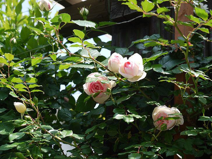 ピエール・ドゥ・ロンサール(ツルバラ)の花が咲きだした。2017年-11.jpg