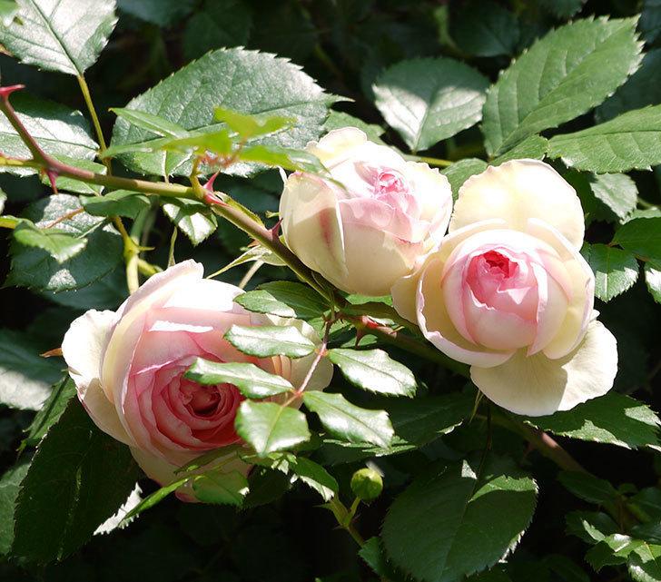 ピエール・ドゥ・ロンサール(ツルバラ)の花が咲きだした。2017年-13.jpg
