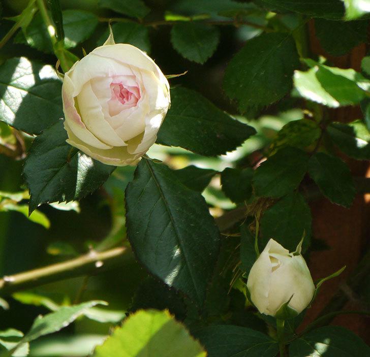 ピエール・ドゥ・ロンサール(ツルバラ)の花が咲きだした。2017年-14.jpg