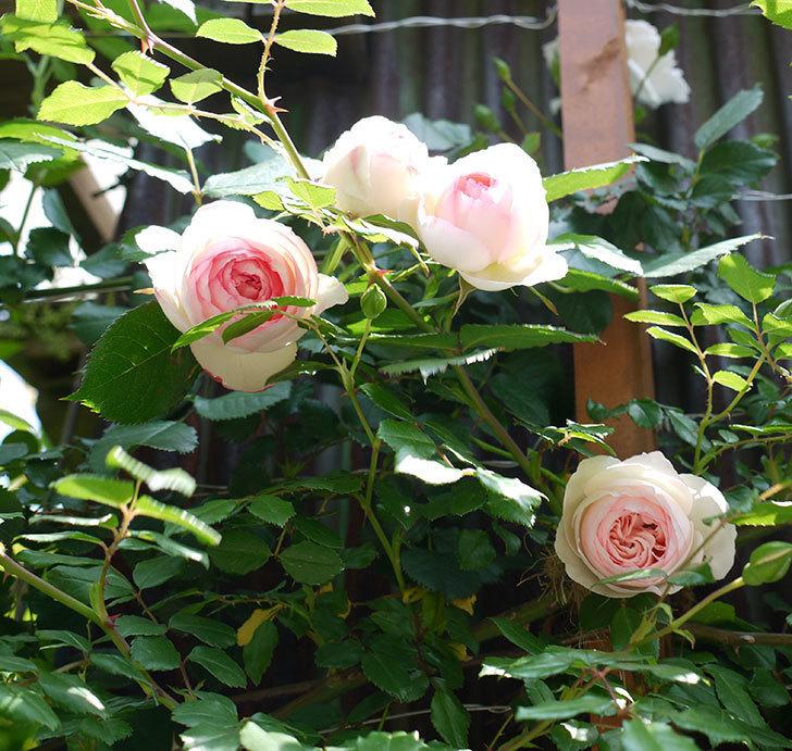 ピエール・ドゥ・ロンサール(ツルバラ)の花が咲きだした。2017年-2.jpg