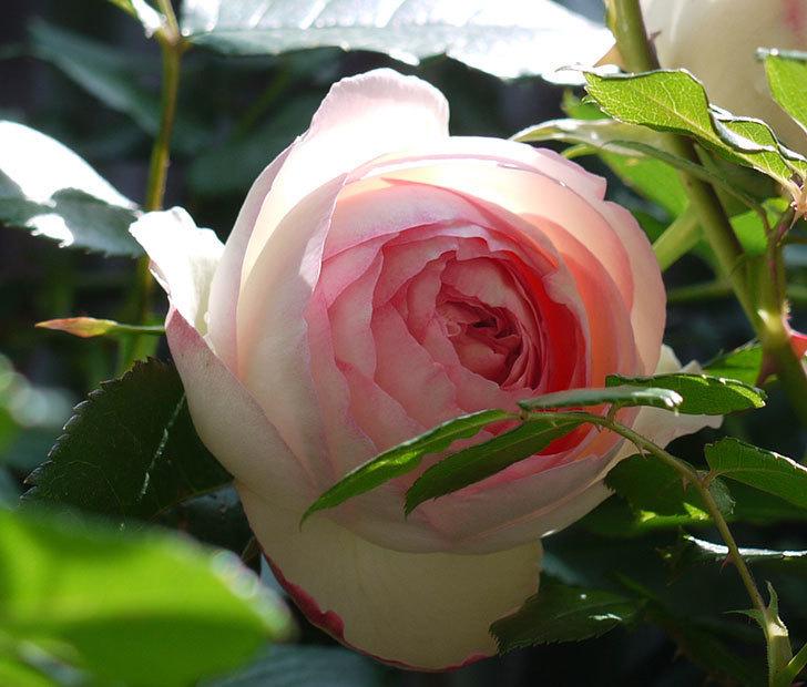ピエール・ドゥ・ロンサール(ツルバラ)の花が咲きだした。2017年-3.jpg