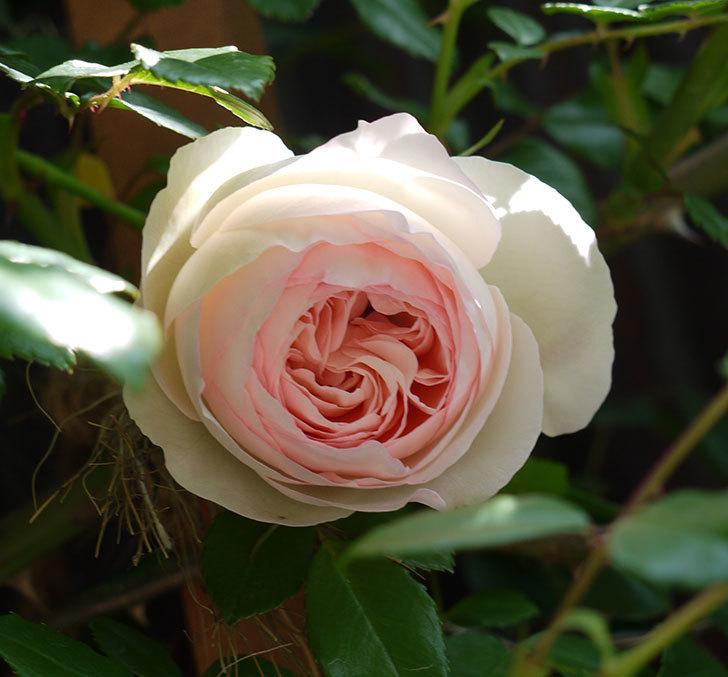 ピエール・ドゥ・ロンサール(ツルバラ)の花が咲きだした。2017年-4.jpg