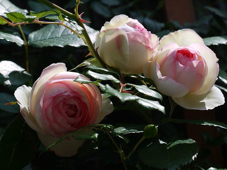 ピエール・ドゥ・ロンサール(ツルバラ)の花が咲きだした。2017年-5.jpg