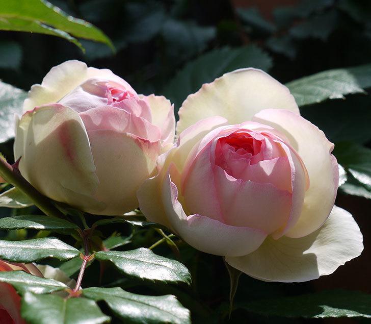 ピエール・ドゥ・ロンサール(ツルバラ)の花が咲きだした。2017年-6.jpg