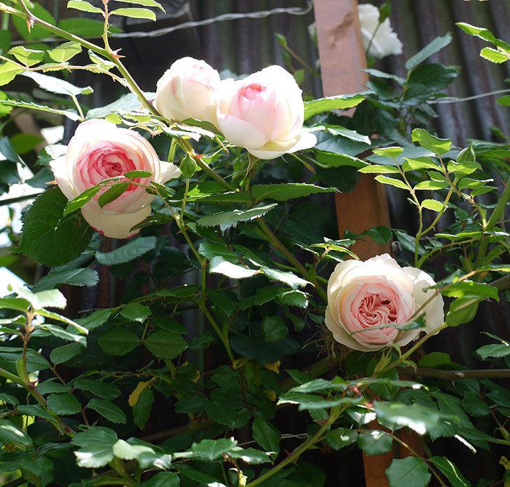 ピエール・ドゥ・ロンサール(ツルバラ)の花が咲きだした。2017年-7.jpg