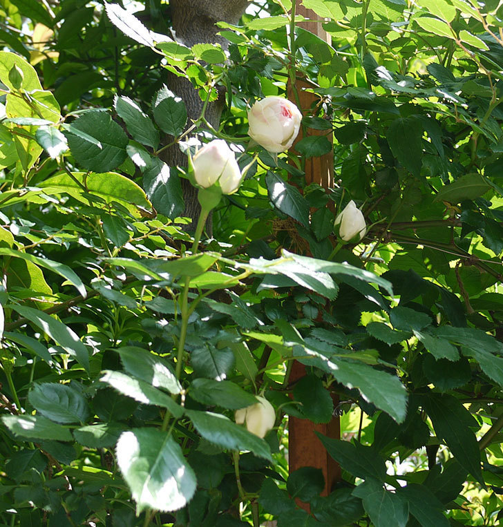 ピエール・ドゥ・ロンサール(ツルバラ)の花が咲きだした。2017年-8.jpg