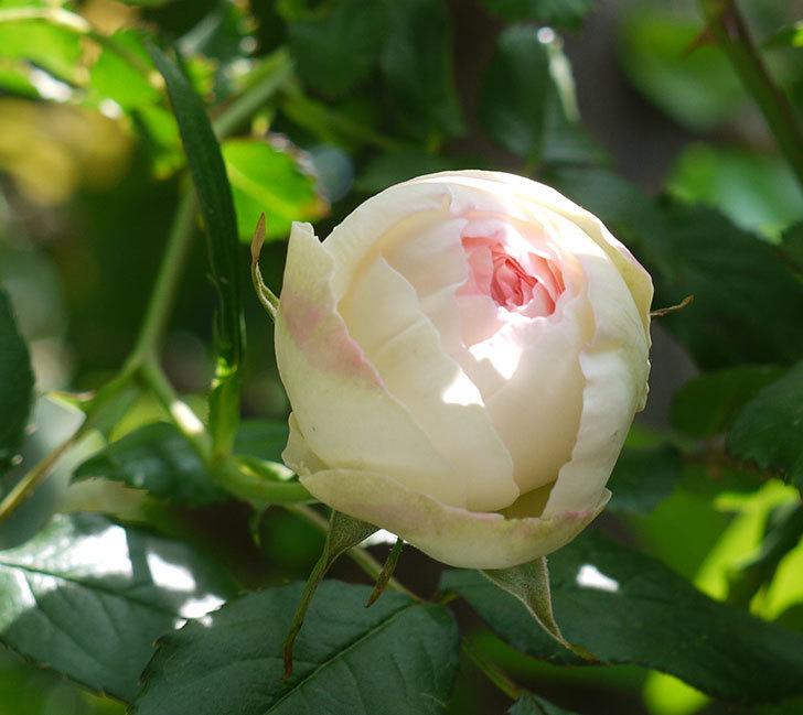 ピエール・ドゥ・ロンサール(ツルバラ)の花が咲きだした。2017年-9.jpg