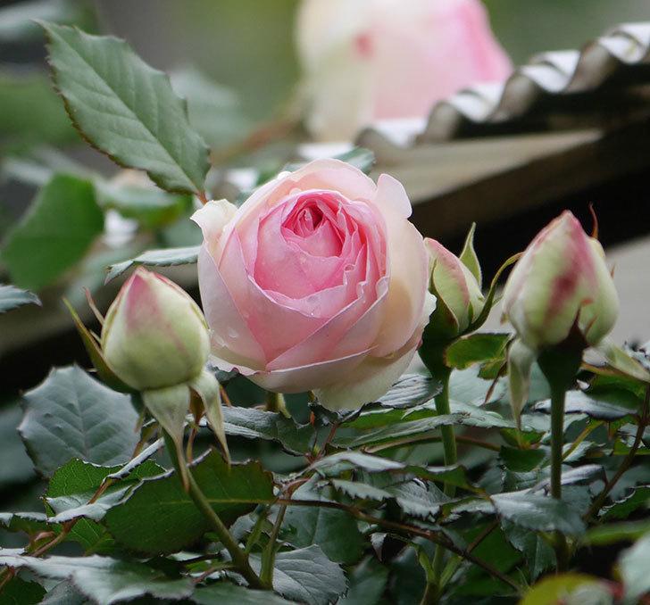 ピエール・ドゥ・ロンサール(ツルバラ)の花が咲きだした。2020年-1.jpg