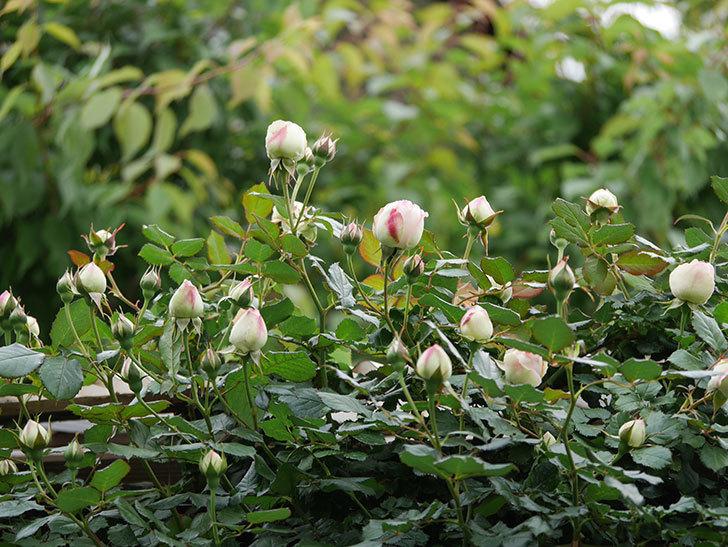 ピエール・ドゥ・ロンサール(ツルバラ)の花が咲きだした。2020年-4.jpg