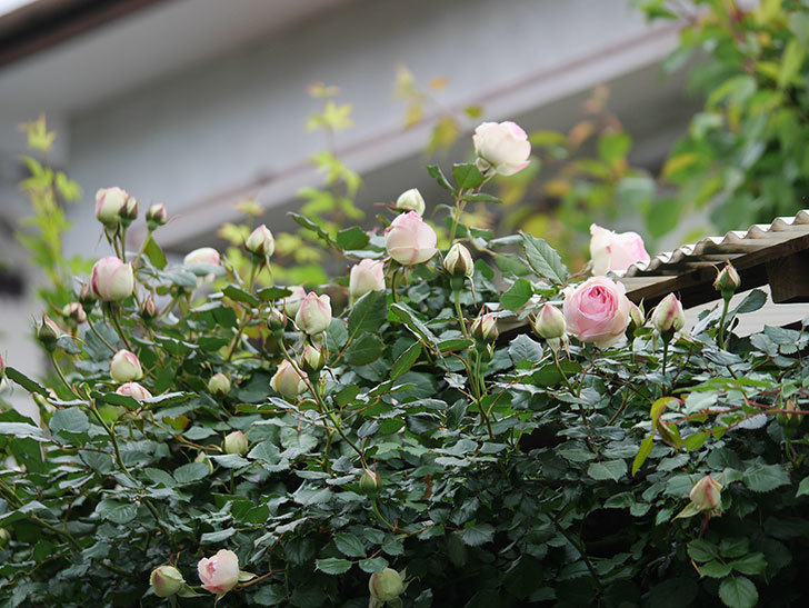 ピエール・ドゥ・ロンサール(ツルバラ)の花が咲きだした。2020年-6.jpg