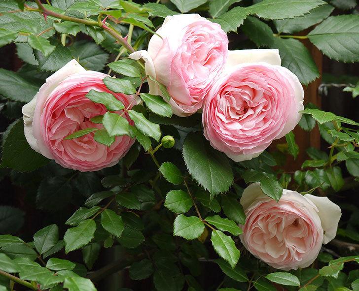 ピエール・ドゥ・ロンサール(ツルバラ)の花が増えてきた。2017年-1.jpg