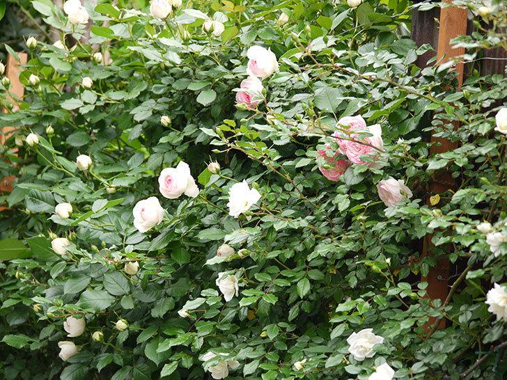 ピエール・ドゥ・ロンサール(ツルバラ)の花が増えてきた。2017年-10.jpg