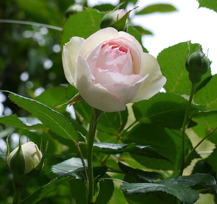ピエール・ドゥ・ロンサール(ツルバラ)の花が増えてきた。2017年-11.jpg