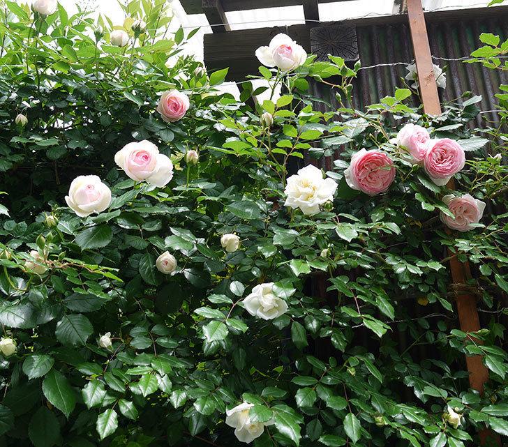 ピエール・ドゥ・ロンサール(ツルバラ)の花が増えてきた。2017年-12.jpg