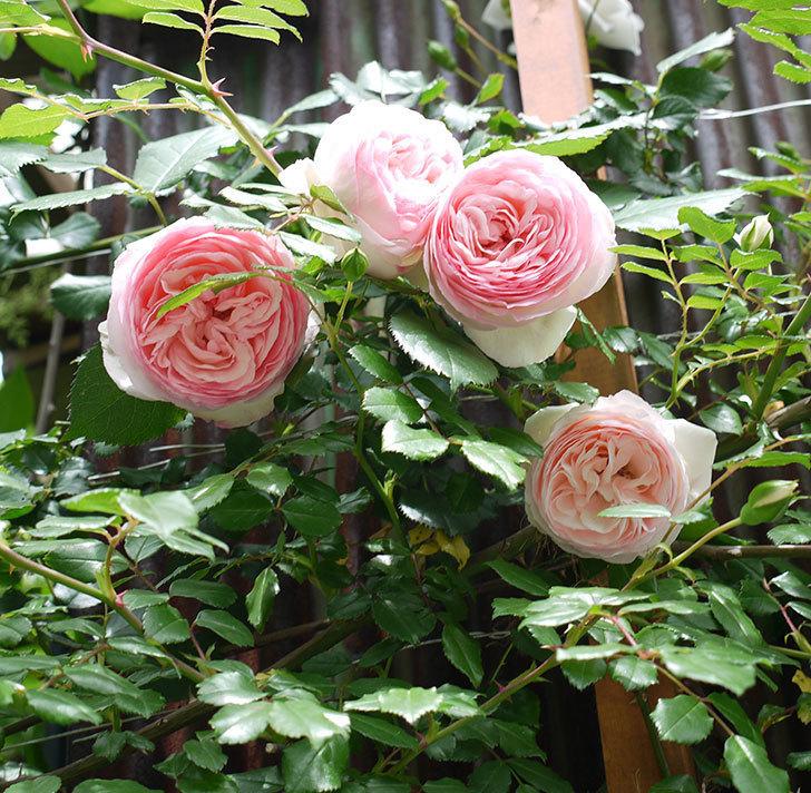 ピエール・ドゥ・ロンサール(ツルバラ)の花が増えてきた。2017年-13.jpg